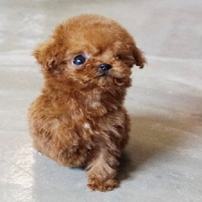 apricot-poodle Puppies