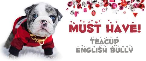 Posh Pups Rare Micro Teacup Puppies For Sale We Have 10lb Tiny