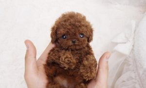 Micro Poodle