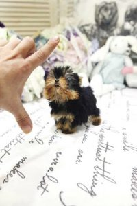 Tiny Toy Yorkie