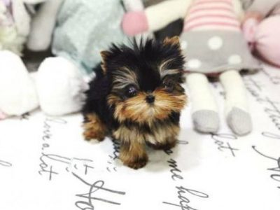 Tiny Teacup Yorkie Puppies For Sale Micro Yorkies For Sale