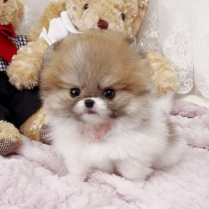 Smallest Pomeranian