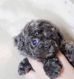 Expensive Tiny Poodle Puppies For Sale