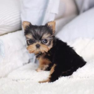tiny cute dogs for sale