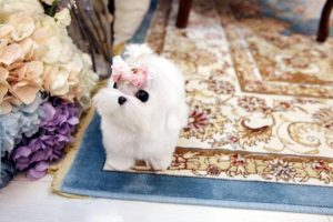 tiny toy dogs for sale