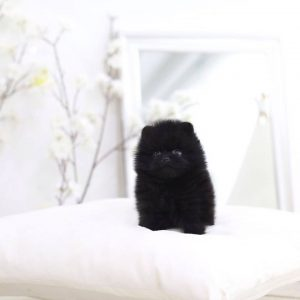 Black Micro Pom Puppies For Sale