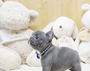 Blue Mini French Bulldog