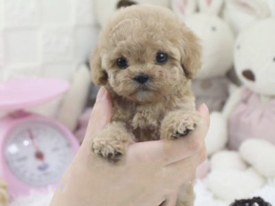 Teacup Poodle for sale - Micro Poodle Puppies for Sale
