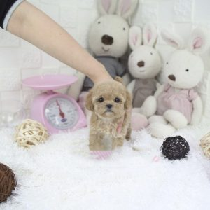 hypoallergenic teacup puppies for sale