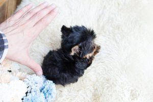 teacup puppies for sale in dallas tx