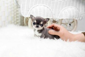 real teeny tiny toy dogs for sale near me