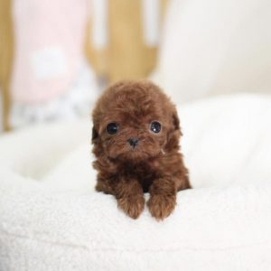 Buy Red Teacup Poodle