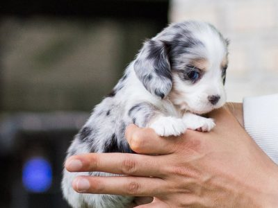 dachshund puppies for sale in pa - puppies for sale near me