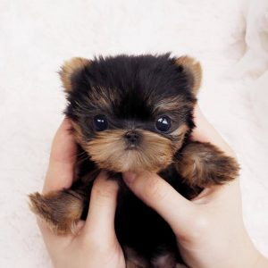 tiny breed dogs for sale
