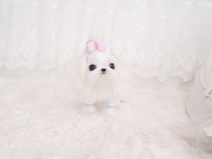 where to buy a teacup dog