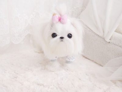 Micro Maltese puppies for sale - Tiny teacup Maltese puppies