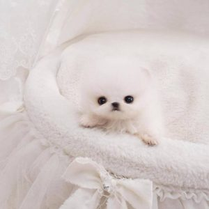 White Tiny Pom Puppies For Sale