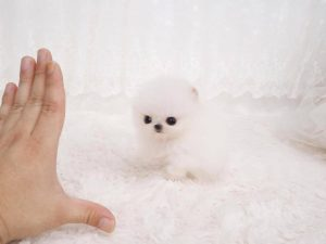 White Pom Dogs For Sale