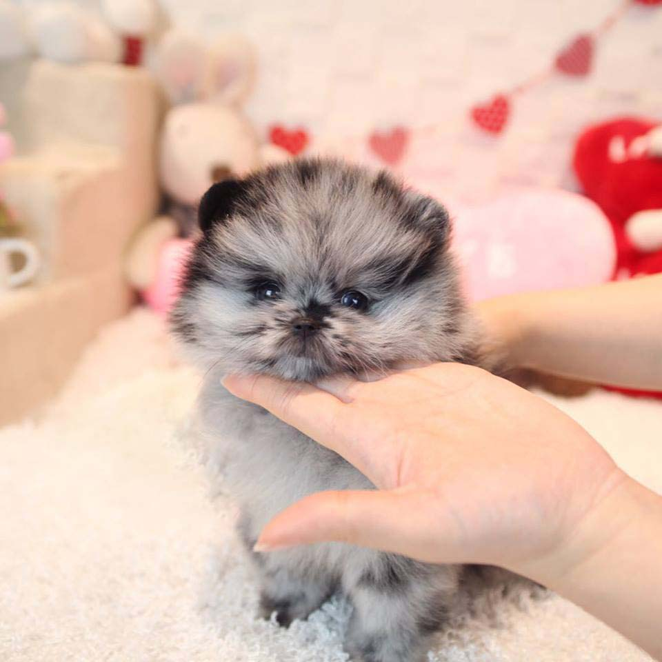 Thumbnail: North Blue Merle Teacup Pom