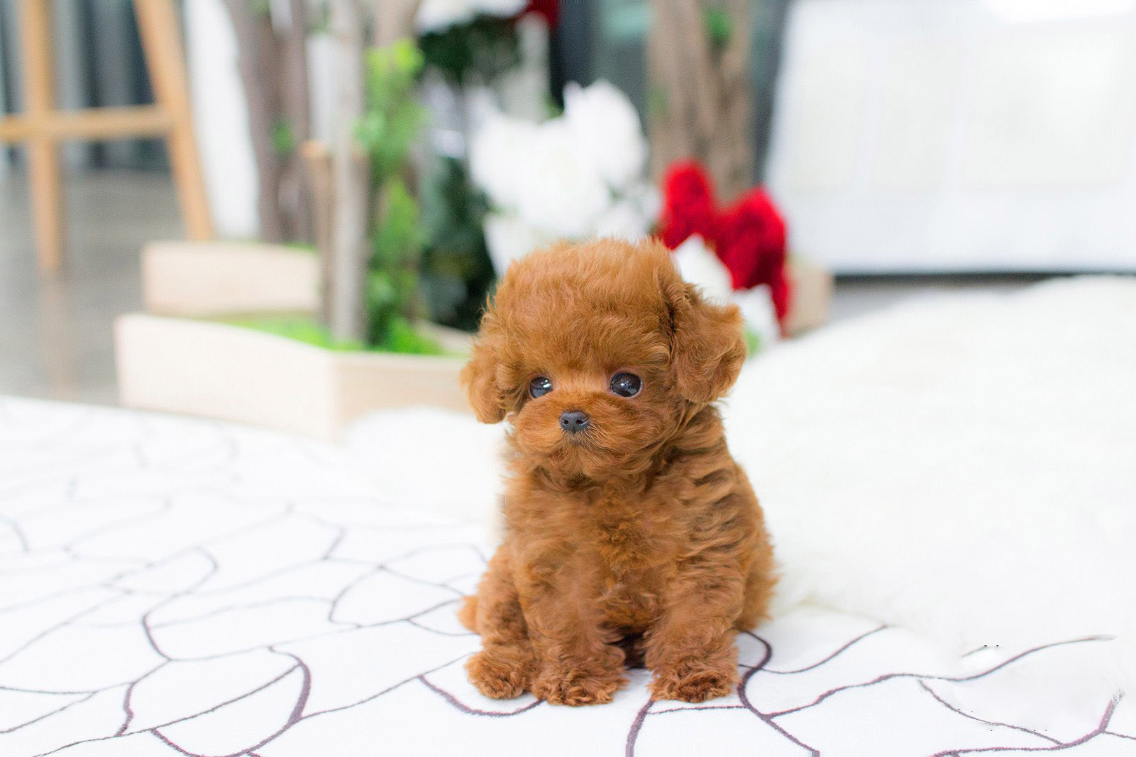Thumbnail: Bridget  Red Poodle