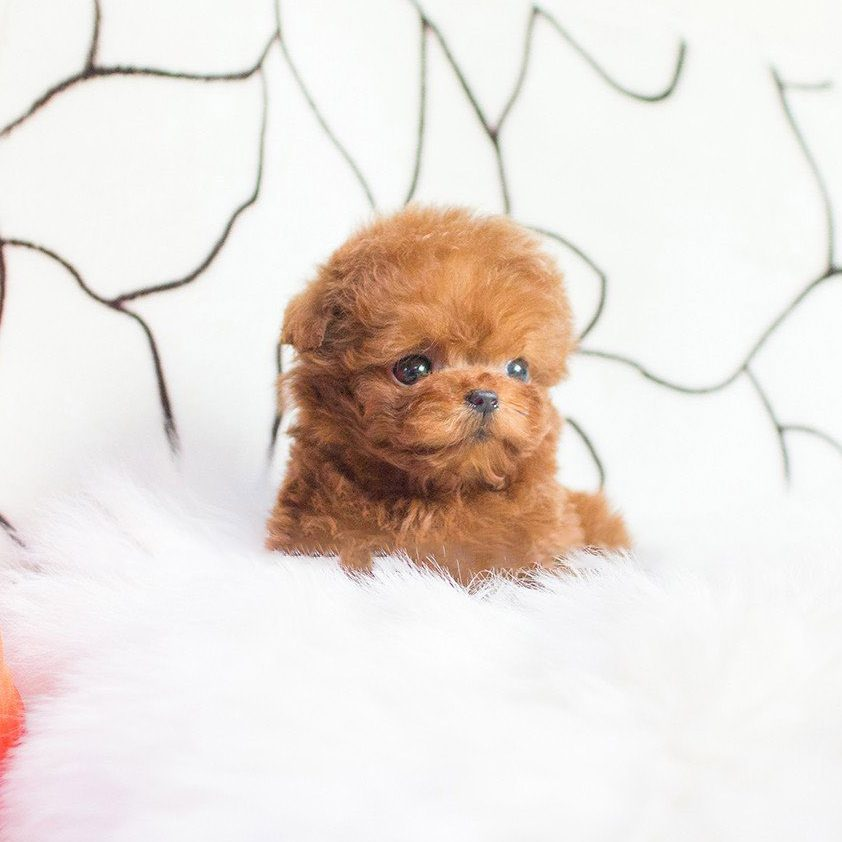 Main Image of Cooper Red Micro Poodle