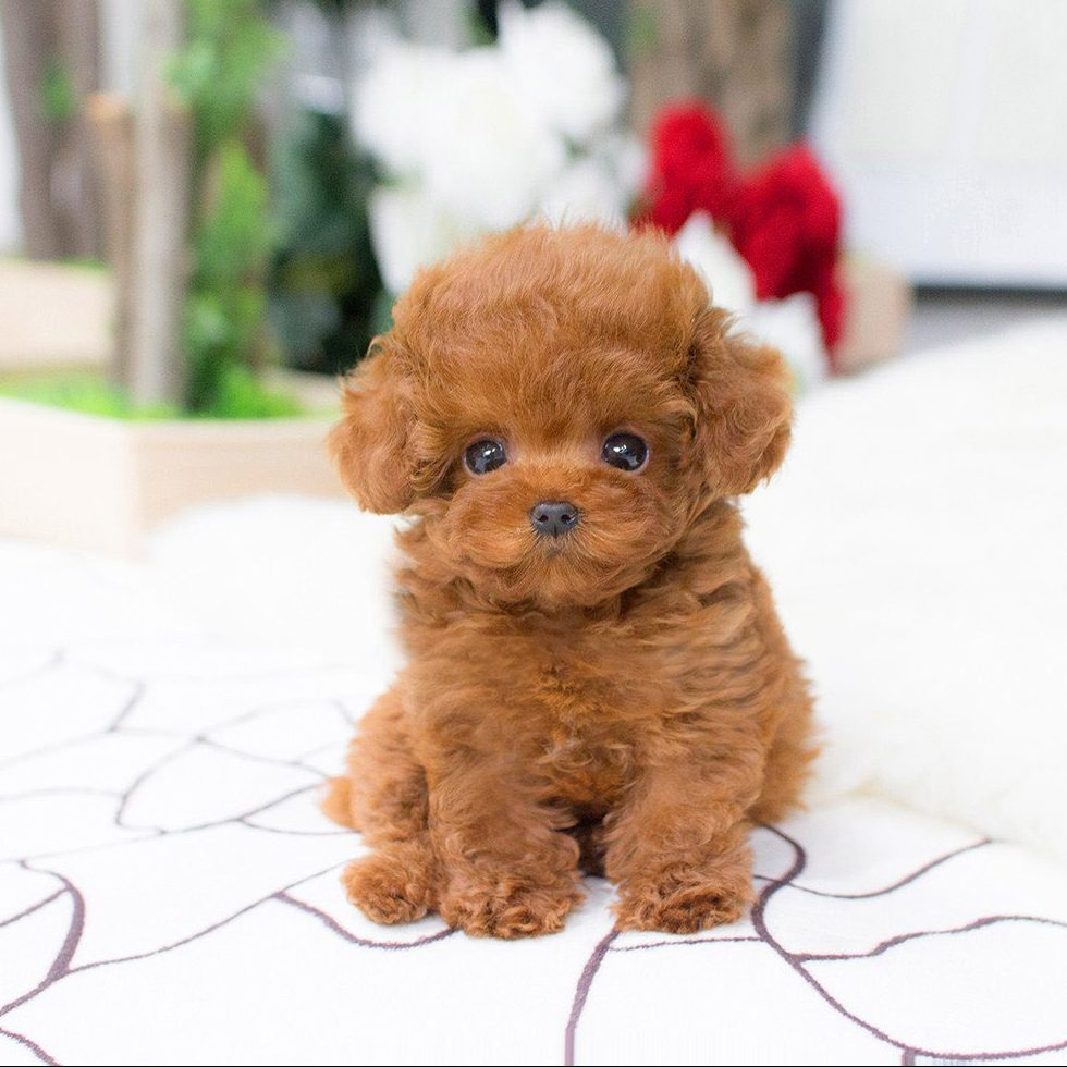 Main Image of Bridget  Red Poodle