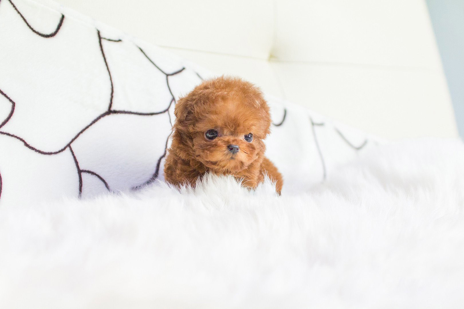 Thumbnail: Cooper Red Poodle