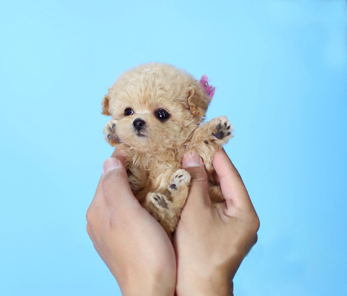 Main Image of Minnie Cream Micro Poodle