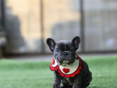 Aloha Blue Teacup French Bulldog