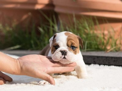Benita Classic Teacup English Bulldog
