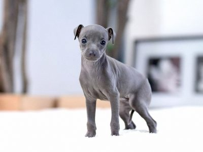 Milano Blue Teacup Italian Greyhound