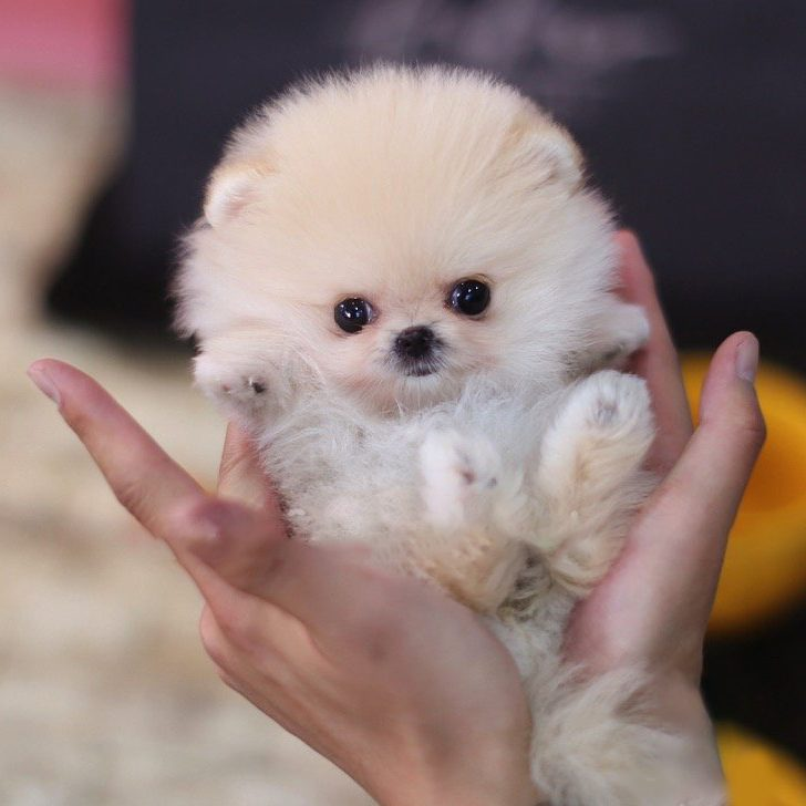Main Image of Pixie Ombre Micro Pomeranian