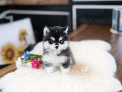 Happy Teacup Pomsky