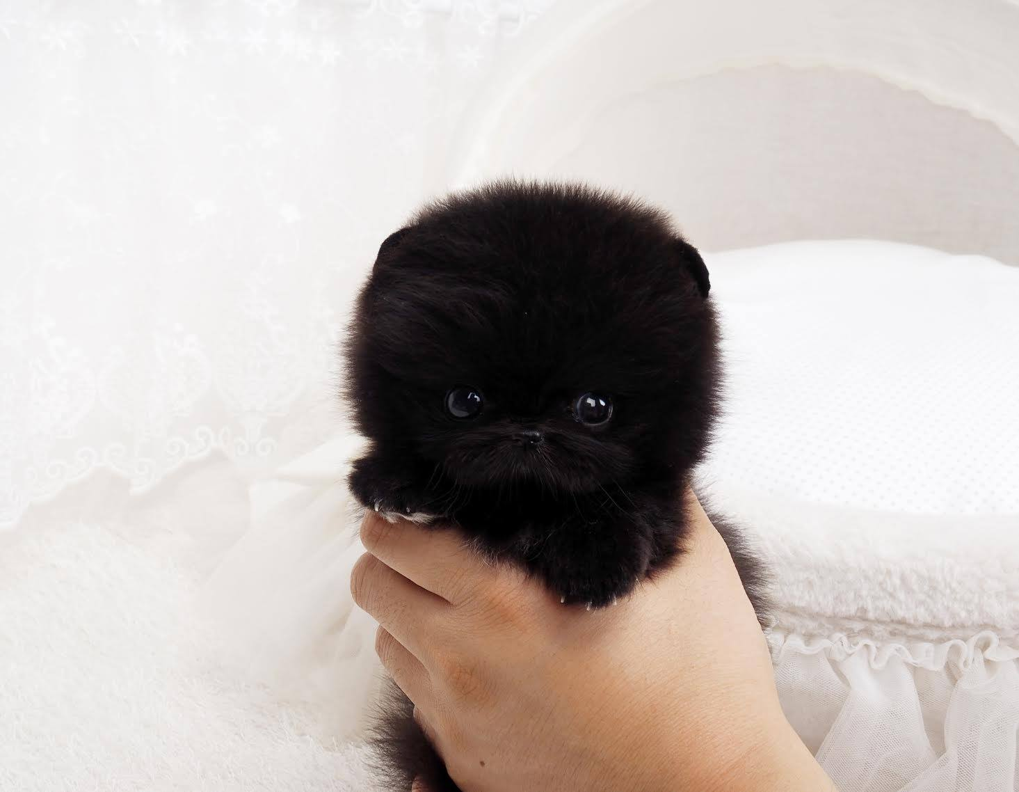 Thumbnail: Roman Black Micro Teacup Pom