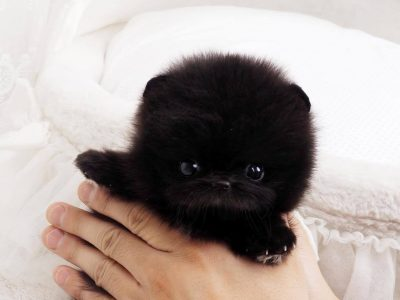 Roman Black Micro Teacup Pom
