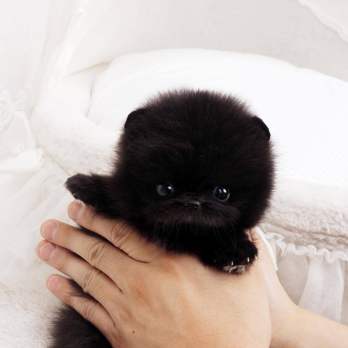 Main Image of Roman Black Micro Teacup Pom