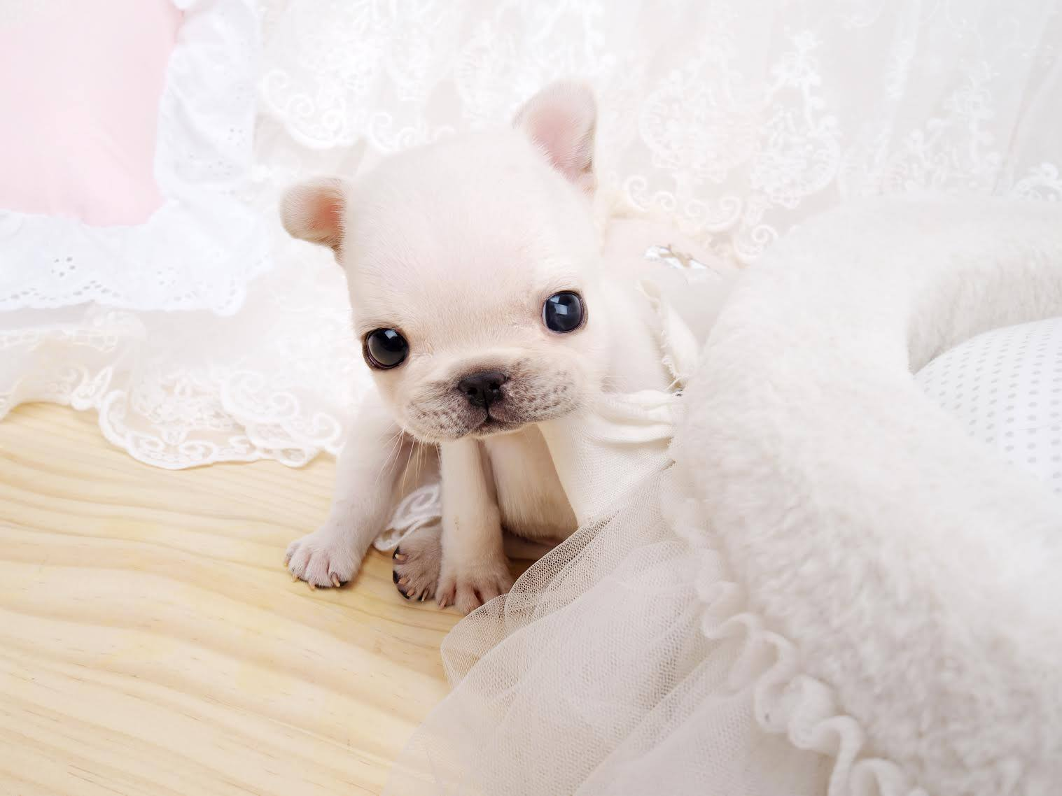 Thumbnail: Fiona White Teacup Frenchie