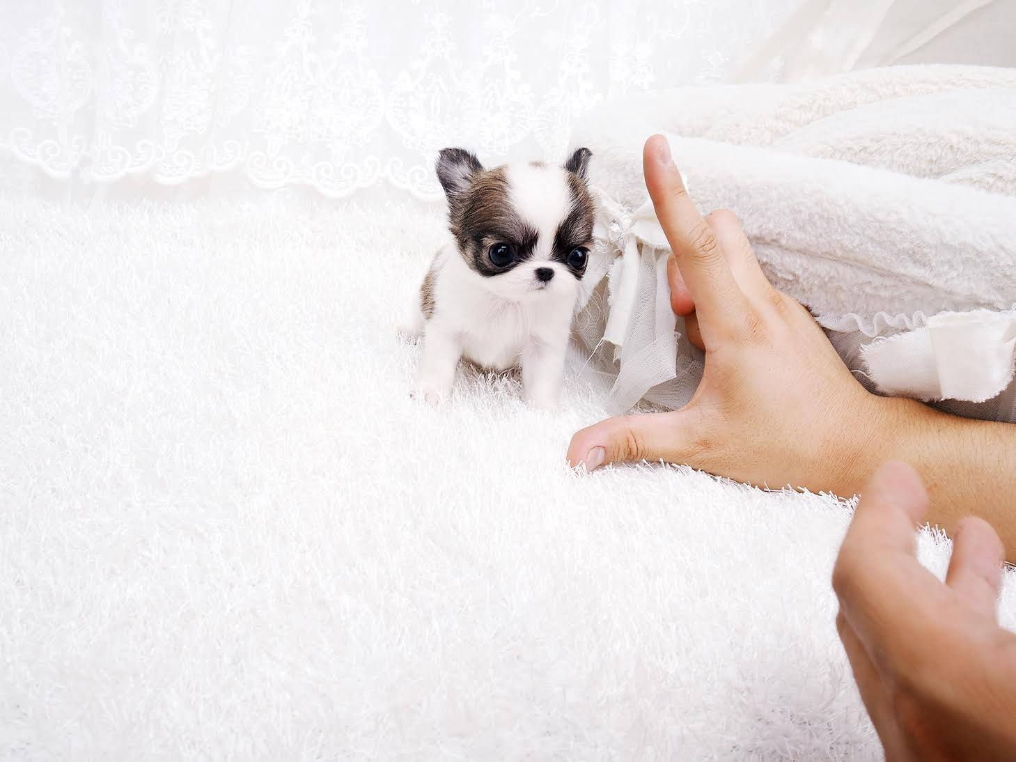 Main Image of Cookie Micro Chihuahua