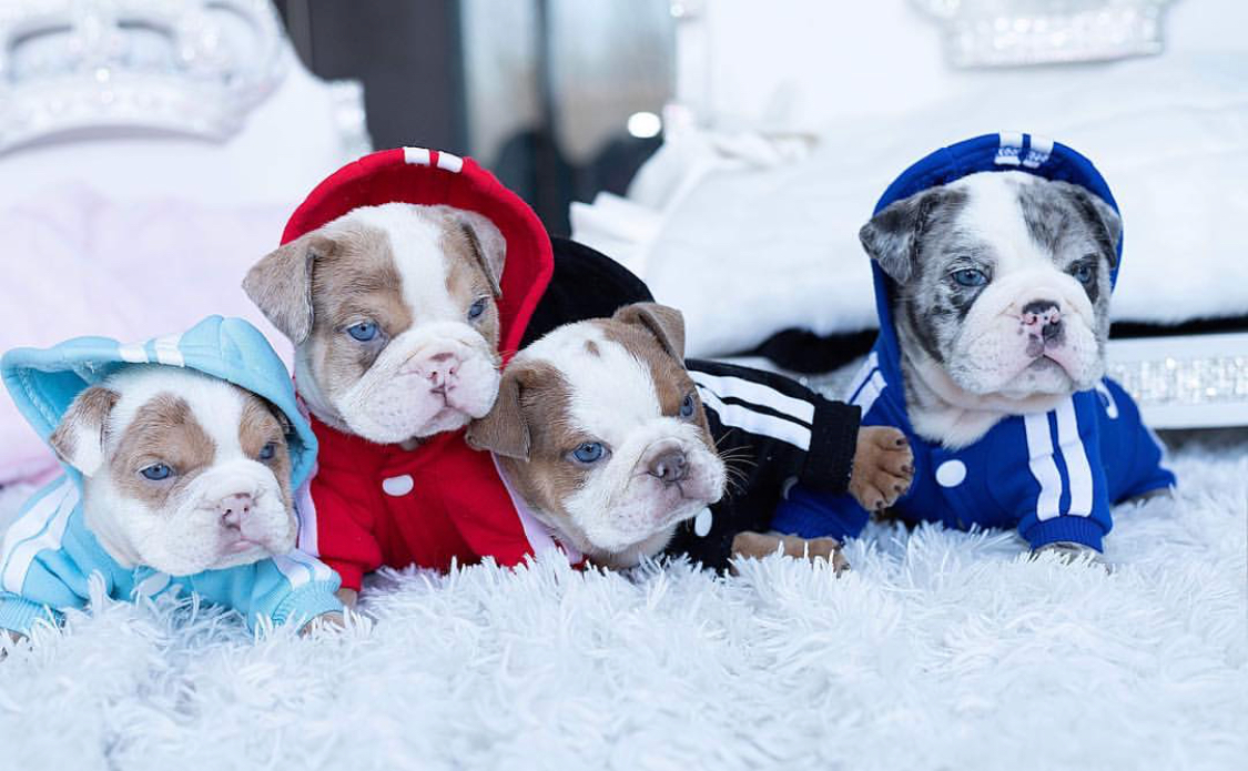 Thumbnail: Emilio Merle Mini English Bulldog