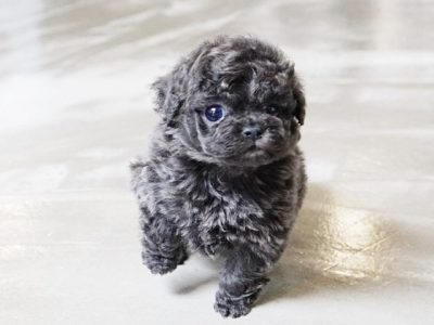 Preston Blue Teacup Poodle