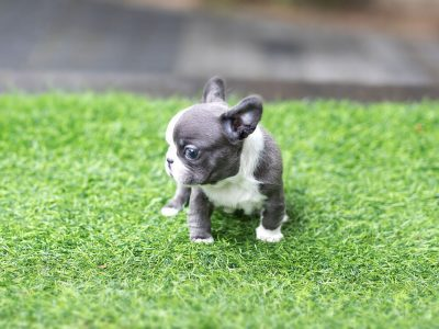 Igloo Blue French Bulldog