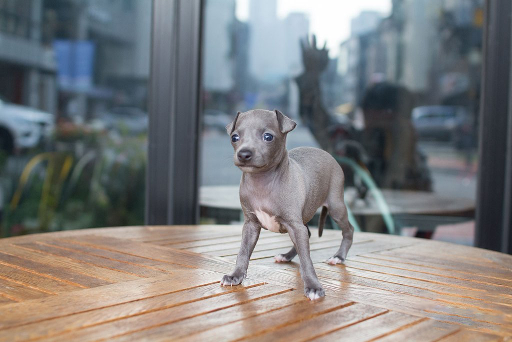 Thumbnail: Ingred Teacup Italian Greyhound