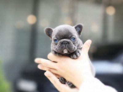 Itsy Blue French Bulldog