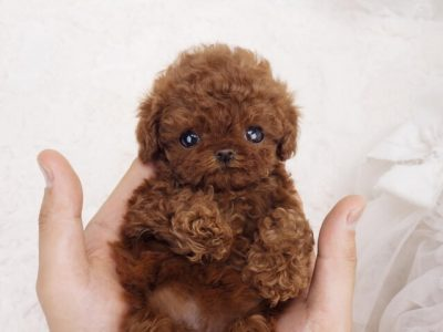 Philly Red Micro Teacup Poodle