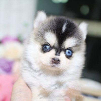 Main Image of Henri Teacup Pomsky