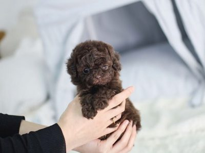 Isaac Chocolate Micro Poodle