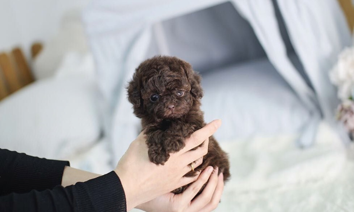 Main Image of Isaac Chocolate Micro Poodle