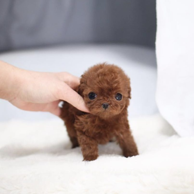 Main Image of Aria Red Micro Poodle
