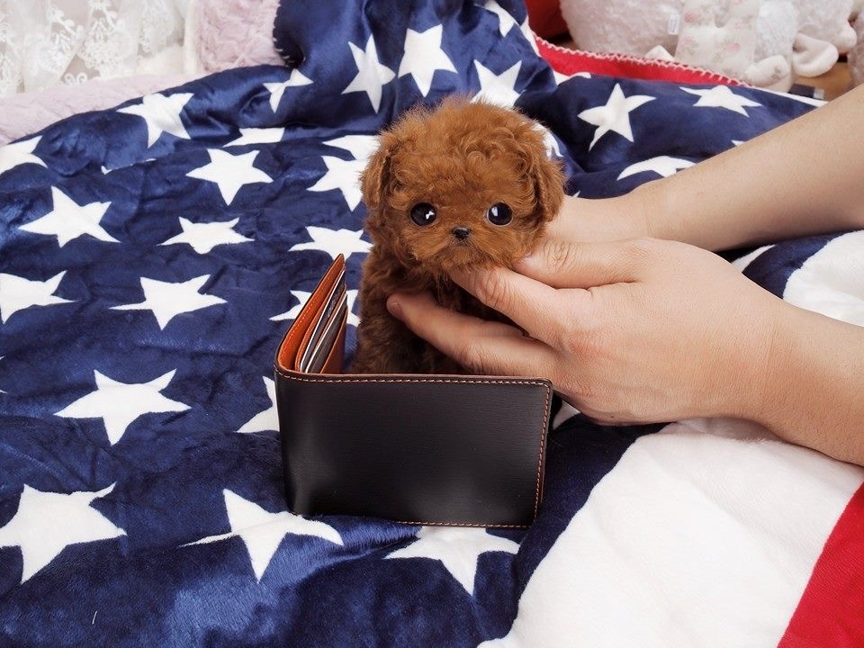 Main Image of Jefferson Red Micro Poodle