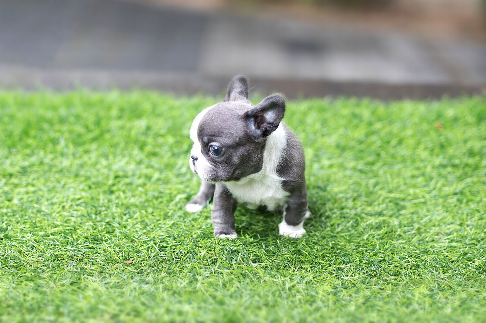 Thumbnail: Levi Blue Micro French Bulldog